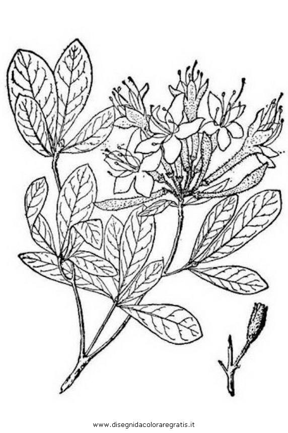 natura/arbusti/rododendro_viscoso.JPG