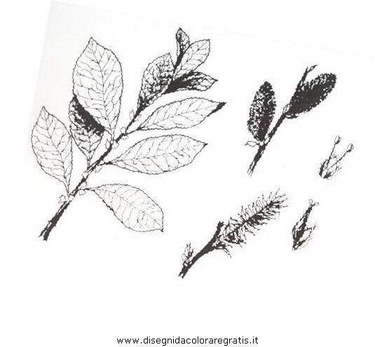 natura/arbusti/salicegrigio.JPG