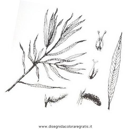 natura/arbusti/saliceripaiolo.JPG