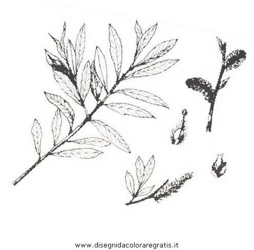natura/arbusti/salicerosso.JPG
