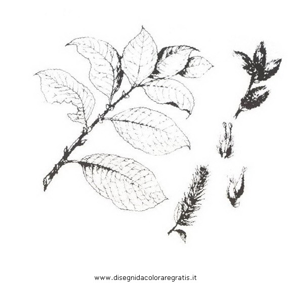 natura/arbusti/salicone.JPG