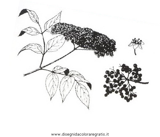 natura/arbusti/sambuconero.JPG