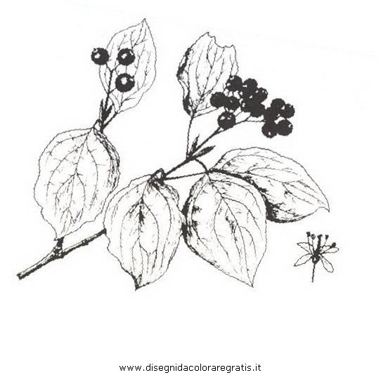natura/arbusti/sanguinello.JPG