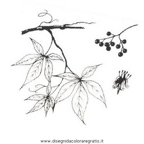 natura/arbusti/vitedelcanada.JPG