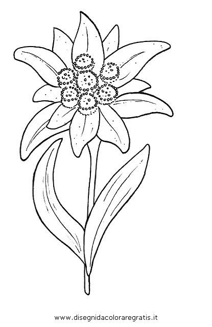 natura/fiori/fiore_stella_alpina.JPG