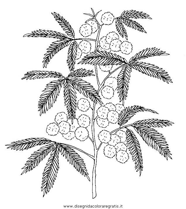 Mimosa Da Colorare.Disegno Fiori Fiore 097 Categoria Natura Da Colorare