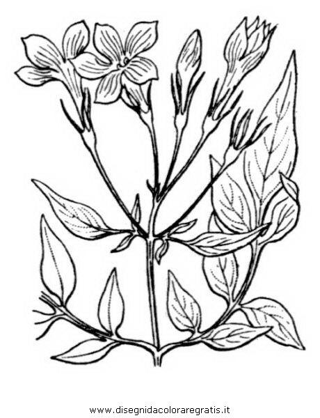 natura/fiori/gelsomino_01.JPG