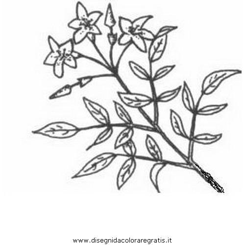 natura/fiori/gelsomino_02.JPG