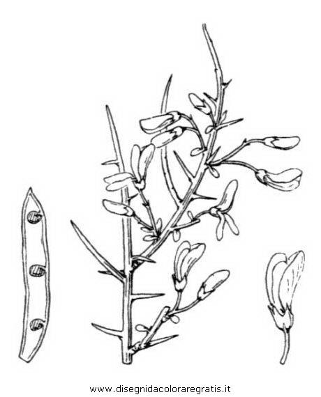 natura/fiori/ginestra_1.JPG
