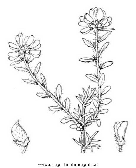 natura/fiori/ginestra_2.JPG