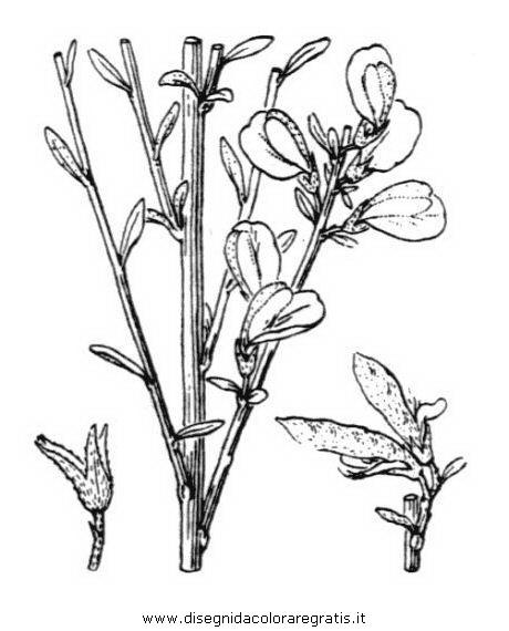 natura/fiori/ginestra_3.JPG