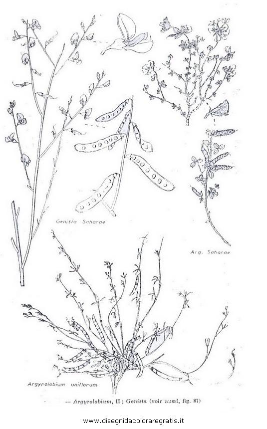 natura/fiori/ginestra_4.JPG