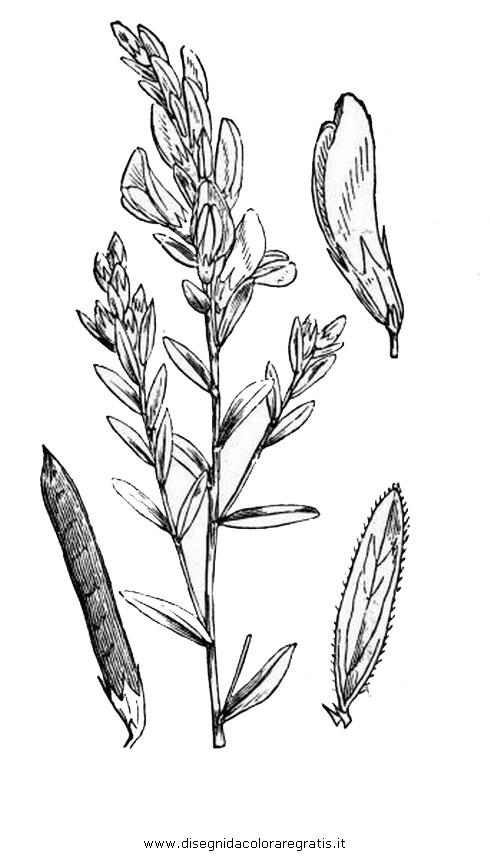 natura/fiori/ginestra_5.JPG