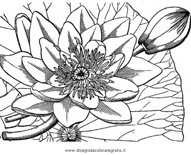 natura/fiori/ninfea_01.JPG