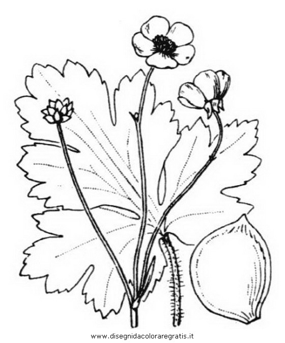 natura/fiori/ranuncolo_2.JPG