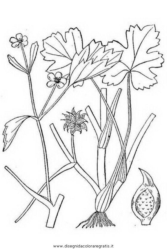 natura/fiori/ranuncolo_5.JPG