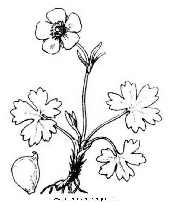 natura/fiori/ranuncolo_6.JPG