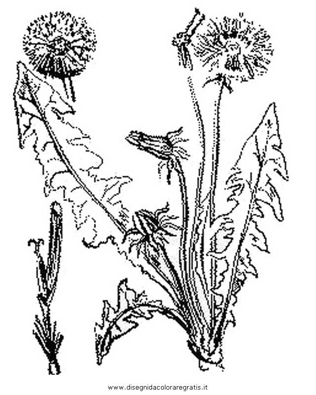 natura/fiori/soffione_2.JPG