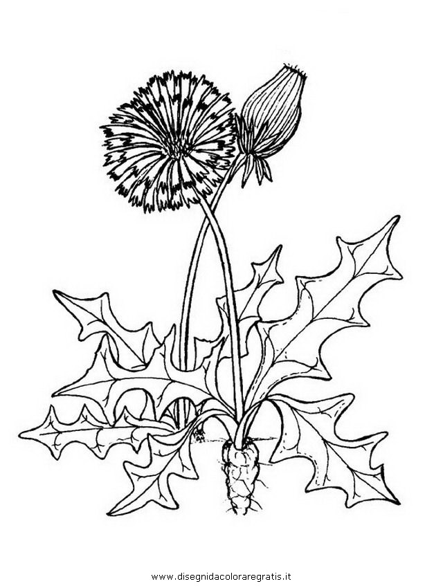 natura/fiori/soffione_3.JPG