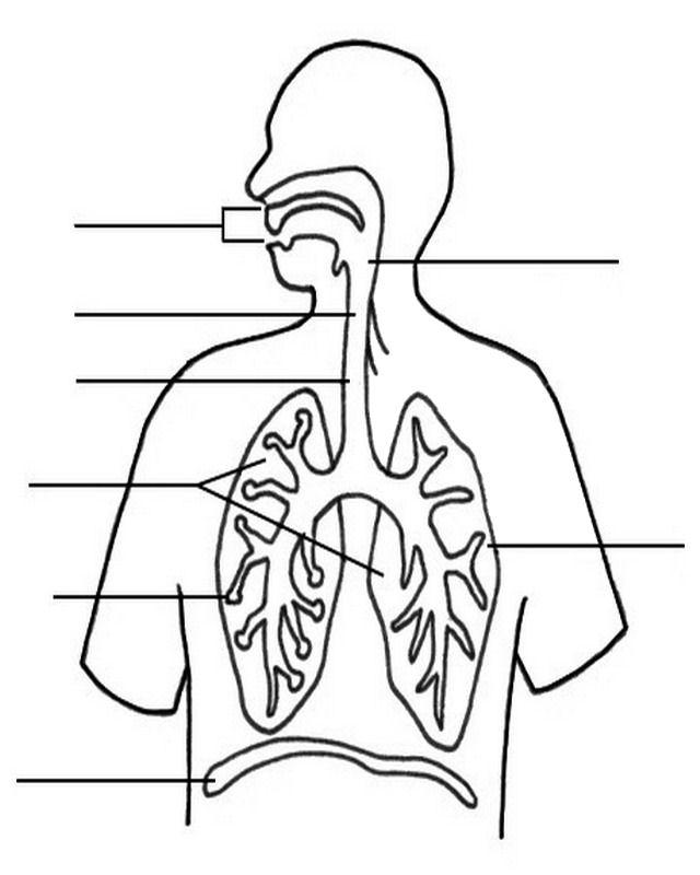 persone/corpo_umano/apparato_respiratorio.jpg