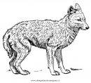 animali/animalimisti/sciacallo_04.JPG