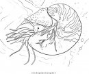animali/crostacei/nautilo_01.JPG