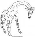 animali/giraffe/giraffa_45.JPG