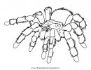 animali/insetti/tarantola_01.JPG