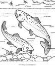 animali/pesci2/salmone_salmoni_3.JPG