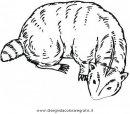 animali/roditori/tasso_tassi_badger.JPG