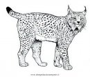 animali/tigri/lince_linci_14.JPG