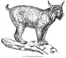 animali/tigri/lince_linci_18.JPG