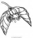 natura/alberi_speciali/caffe_01.JPG