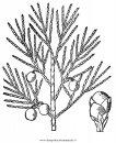 natura/alberi_speciali/ginepro_4.JPG