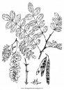 natura/alberi_speciali/robinipseudoacacia.JPG