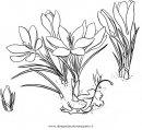 natura/fiori/crocus_3.JPG