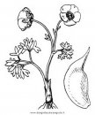 natura/fiori/ranuncolo_4.JPG