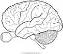 persone/corpo_umano/cervello_1.JPG